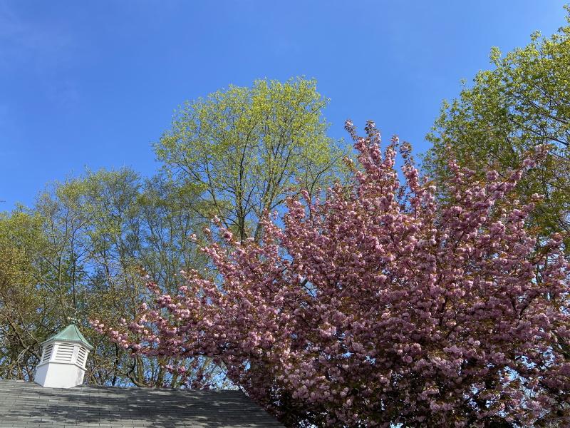 庭に咲いた八重桜が青空に映える